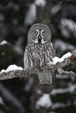 Great-grey owl, Strix nebulosa. Single bird on branch, Finland royalty free stock image