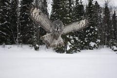Great-grey owl, Strix nebulosa Stock Photography