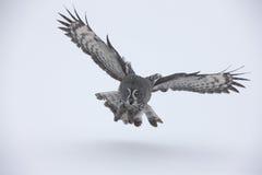 Great-grey owl, Strix nebulosa Royalty Free Stock Image