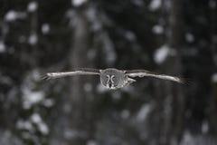 Great-grey owl, Strix nebulosa Stock Photos