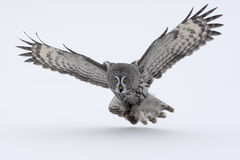 Great-grey owl, Strix nebulosa. Single bird in flight royalty free stock image