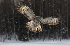 Great-grey owl, Strix nebulosa Royalty Free Stock Photos