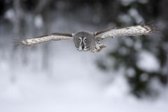 Great-grey owl, Strix nebulosa. Single bird in flight stock photo