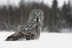 Great-grey owl, Strix nebulosa. Great-grey, owl, Strix, nebulosa,single bird on snow stock image