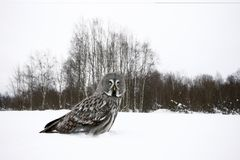 Great-grey owl, Strix nebulosa stock images
