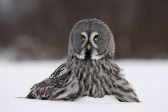Great-grey owl, Strix nebulosa Stock Image