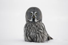Great-grey owl, Strix nebulosa Stock Photography