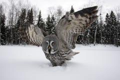 Great-grey owl, Strix nebulosa. Great-grey, owl, Strix, nebulosa, single bird on snow, Finland stock photo