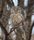 Great grey owl Strix nebulosa Stock Photography
