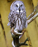 The Great Grey Owl Strix nebulosa Stock Images