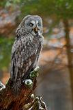 Great grey owl, Strix nebulosa, sitting on broken down tree stump with green forest in background Stock Photo