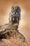 Great grey owl, Strix nebulosa, sitting on old tree trunk with grass, portrait with yellow eyes. Sweden stock image