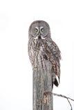 Great grey owl on winter post Stock Photos