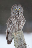 Great grey owl (Strix nebulosa) perched on a post hunting over a snow covered field in Canada stock photos