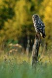 Great Grey Owl (strix nebulosa) sitting on a tree Stock Images
