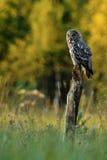 Great Grey Owl (strix nebulosa) sitting on a tree