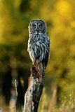 Great Grey Owl (strix nebulosa) in summer Stock Photography