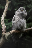 Great grey owl (Strix nebulosa). Stock Images
