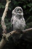 Great grey owl (Strix nebulosa). Wild life animal stock photo