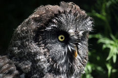 Great grey owl (Strix nebulosa). Royalty Free Stock Image