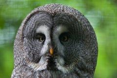 Great grey owl (Strix nebulosa). Wildlife bird stock photography