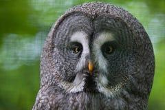 Great grey owl (Strix nebulosa). Wildlife bird royalty free stock photos
