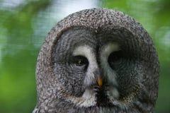 Great grey owl (Strix nebulosa). Wildlife bird royalty free stock image
