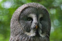 Great grey owl (Strix nebulosa). Wildlife bird royalty free stock photo