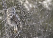 Great Grey Owl Stock Photos