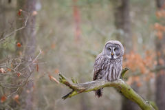Great grey owl on tree branch Stock Photo