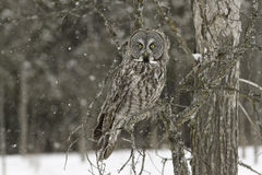 A Great Grey owl in a tree Royalty Free Stock Photography