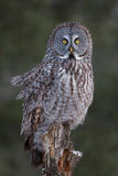 Great grey owl (Strix nebulosa) perched on a post hunting over a snow covered field in Canada stock image