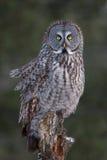 Great grey owl on tree stump in winter Stock Photo