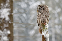 Great Grey Owl on tree trunk. In winter wood royalty free stock photo