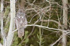 Great Grey Owl in a tree in winter Stock Images