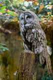 Great grey owl is a very large owl. Plumage of the face. Close up. Great grey owl is a very large owl. Plumage of the face. Vertical. Close up Royalty Free Stock Photos