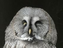 Great grey owl looking out at the world stock image