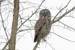 Great Grey Owl in Winter. Strix nebulosa in a bare tree in overcast weather, ontario canada royalty free stock photography