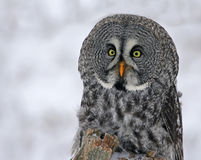 Great Grey Owl in Winter. A close-up of a Great Grey Owl (Strix nebulosa) with snow falling in the background Stock Photography