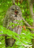 Great grey owl yawning sitting in a tree Stock Photos