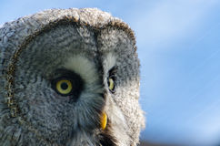 The great grey owl. In the zoo in Kaluga region Royalty Free Stock Image