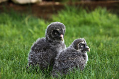 Great grey owlets Stock Photos