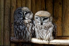 Great Grey Owls Royalty Free Stock Photo