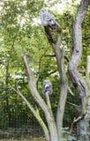 Great grey owls Stock Photo