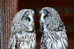 Great Grey Owls, selective focus Royalty Free Stock Image