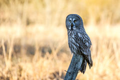 Great Grey Perching. The Great Grey Owl Strix Nebulosa perching on a roundpole in the shadow with the morningsun shining on the defocused background royalty free stock photos