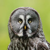 Great Grey`s Portrait Closeup Square Royalty Free Stock Photos