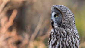 Great Grey`s Profile. A Great Grey Owl Strix Nebulosa shows his beautiful profile when perching on a roundpole with a nice defocused background stock image