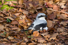 Great grey Shrike hunting for mice among fallen leaves Stock Photography