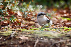 Great grey Shrike hunting for mice among fallen leaves Royalty Free Stock Photography